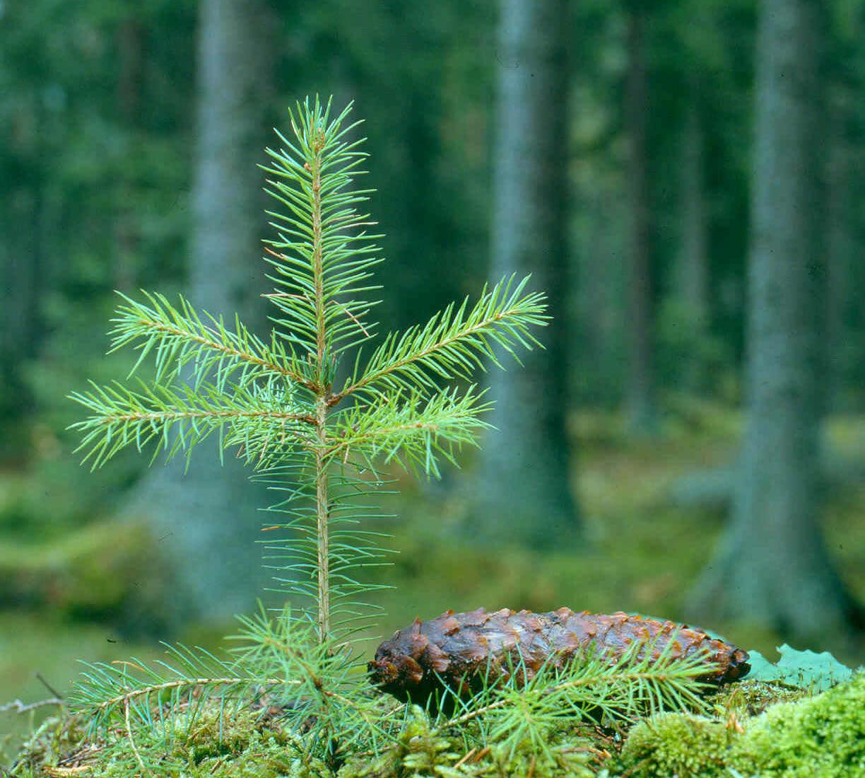 Granplanta i skogen