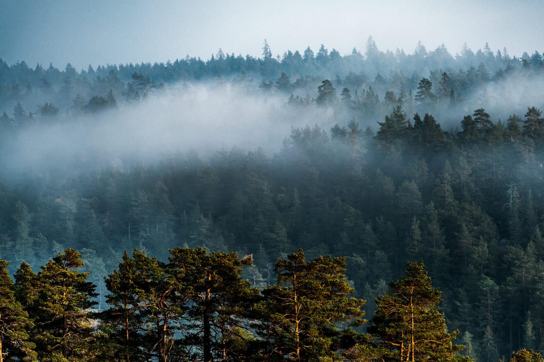 Trädtoppar med dimma