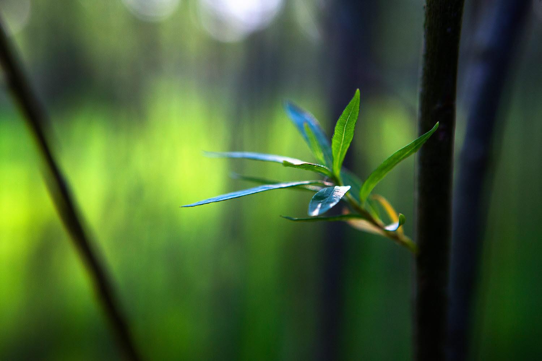 Willow plant