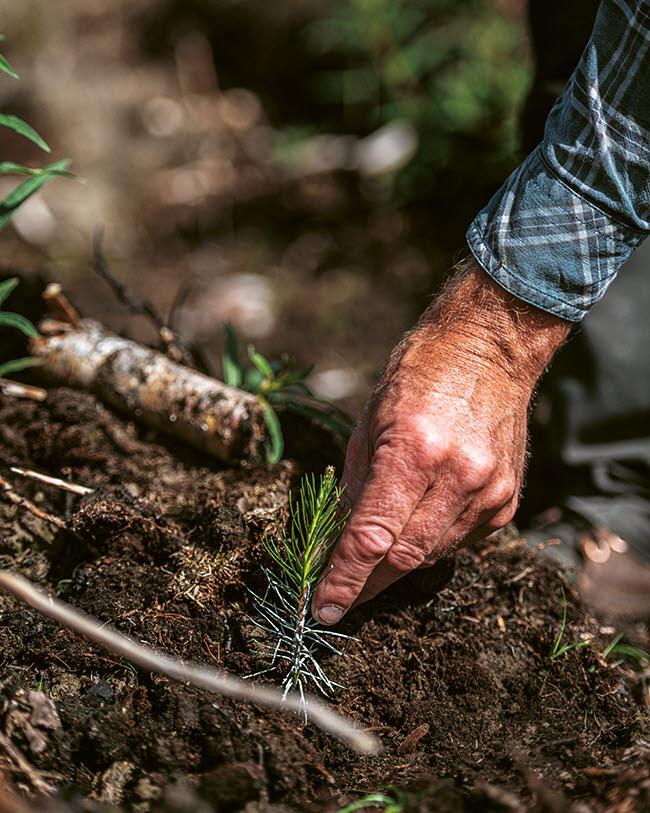 Närbild på planta som sätts i jord av person med rutig skjorta