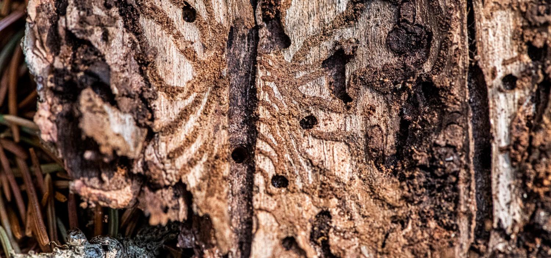 Gångar orsakade av granbarkborren under barken på en trädstam.