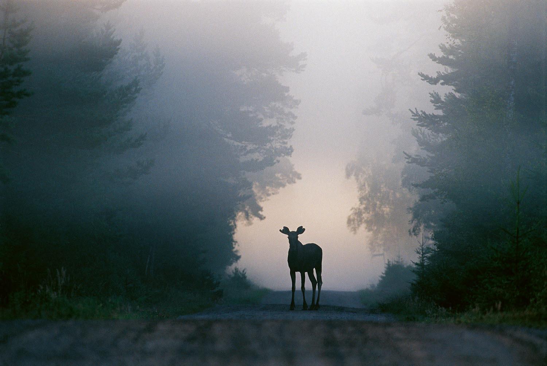 Älg på skogsväg i skymning
