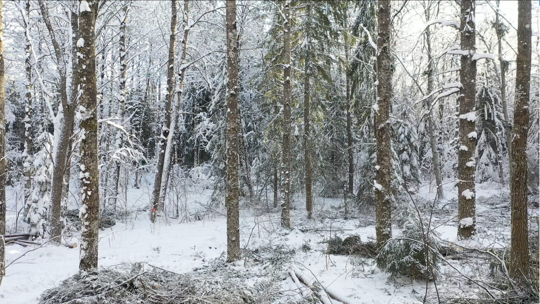 Ekar och andra lövträd i vinterlandskap, granris på marken.