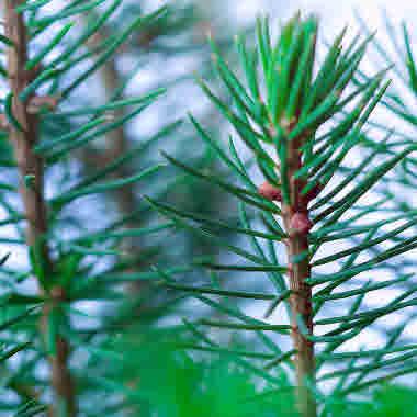 Pine plants