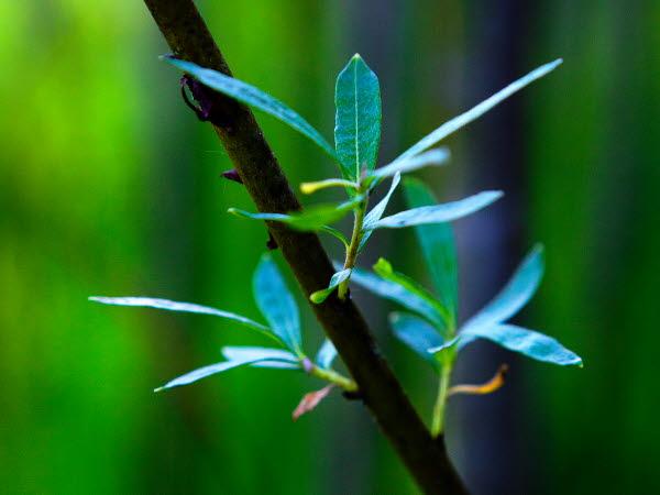 Willow tree plant