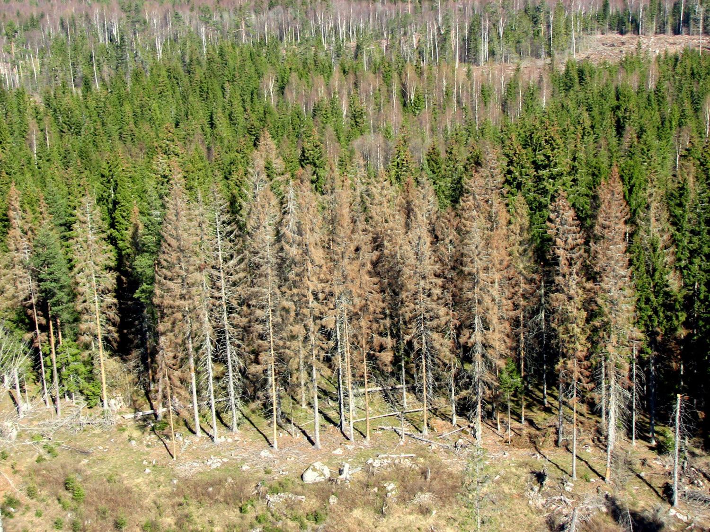 Granbarkborreangripen skog . Foto: Mattias Sparf