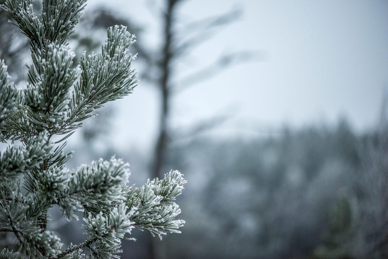 Frostig skog